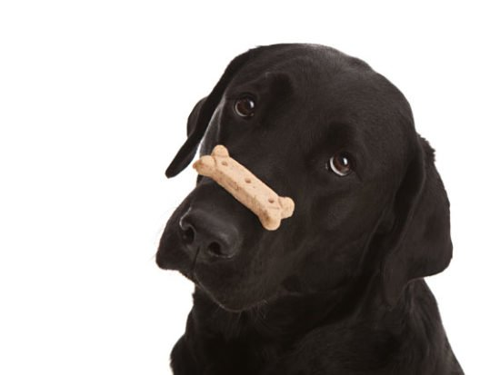lab-with-treat.jpg