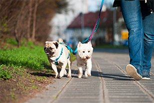 two dogs walking on leashes